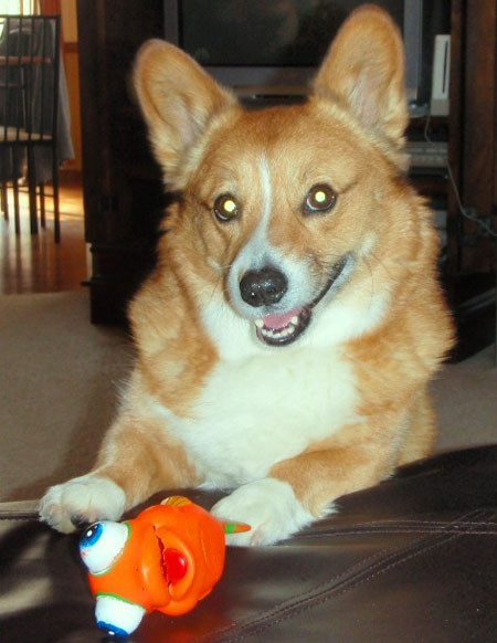 Dog baxter - Pembroke Welsh Corgi