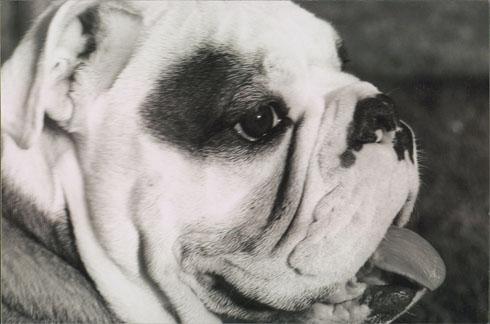 Beau English Bulldog - Princeton NJ