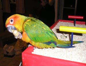 Birds Nian Conure