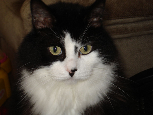 Pet Cat: Bandit (Maine Coon, DLH)