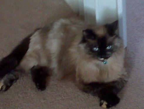 Cat - Chelsea