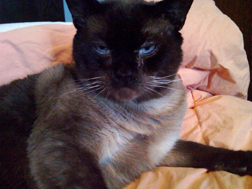 Cat: Icabod (Icky) - Siamese Mix