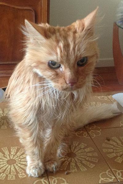 Family Pet Cat: Marius (European)