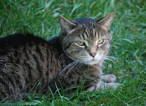 Pet Cat: Toby (Short Hair Tabby)