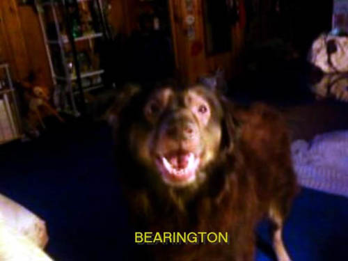Pet Dog: Bearington Chester (German shepherd mix)
