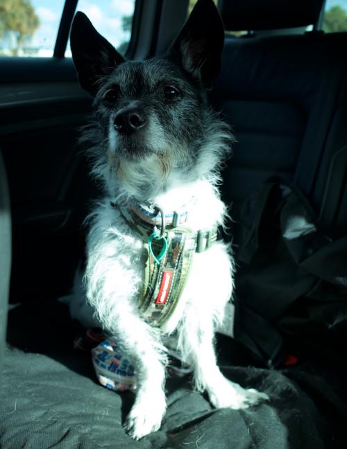 Pet dog: Billie - (Jack Russell - Blue Heeler)