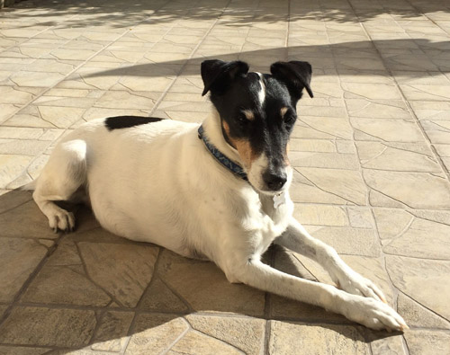 Pet Dog Billy - Fox Terrier