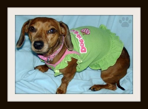 Dog - Cali - Miniature Dachshund