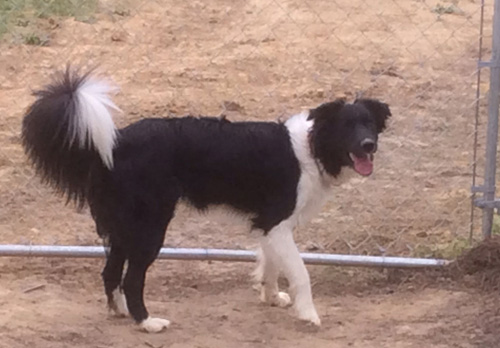 Pet Dog: Champ - Border Collie