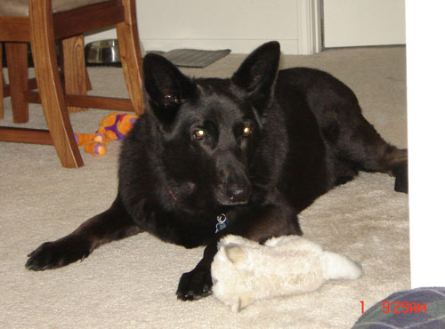 Loving Pet Dog: Champ - German Shepherd - Havana, FL