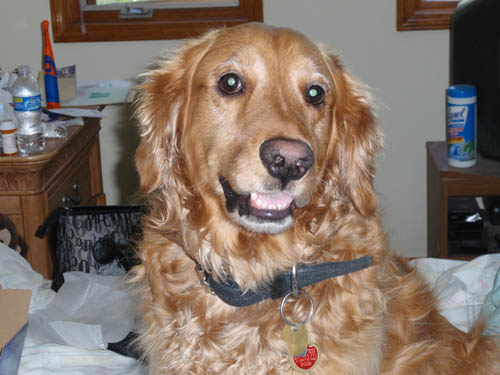 Pet dog: Champ Tanner (Golden Retriever)