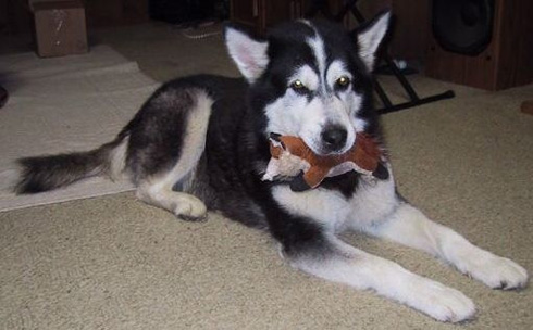 Dog Chaya Renee - Alaskan Malamute - Sacramento