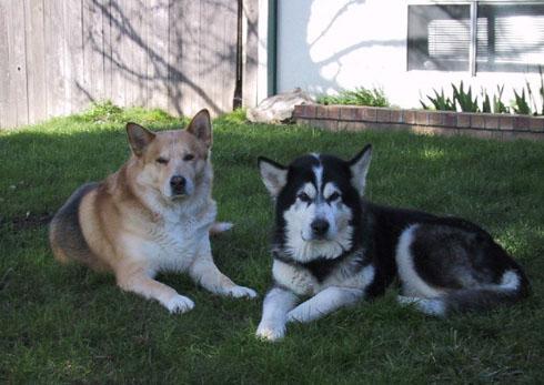 Dog Chaya Rrenee - Alaskan Malamute - Sacramento