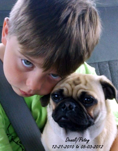 Dog: Denali (Petey) - Pug