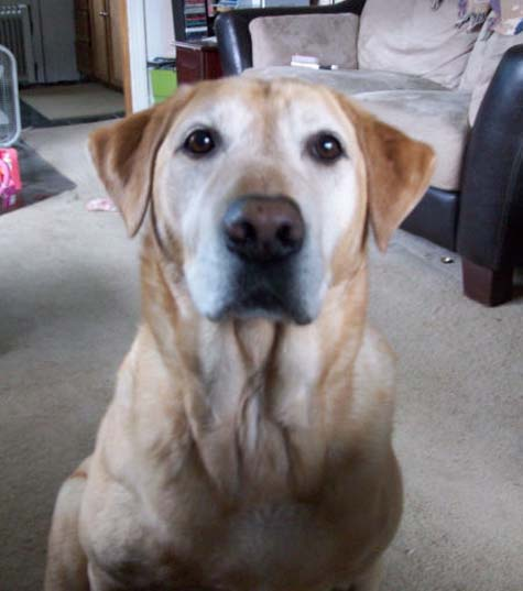 Miss my pet dog: Dooley (AKC Yellow Lab) - Binghamton, NY | Online