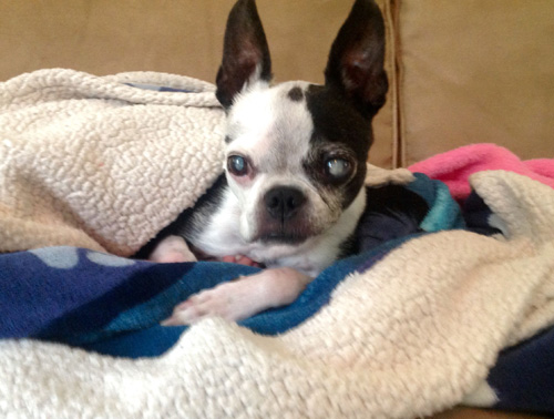 Pet Dog: Dottie - Boston Terrier