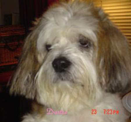 Dog: Dustee - Lhasa Apso