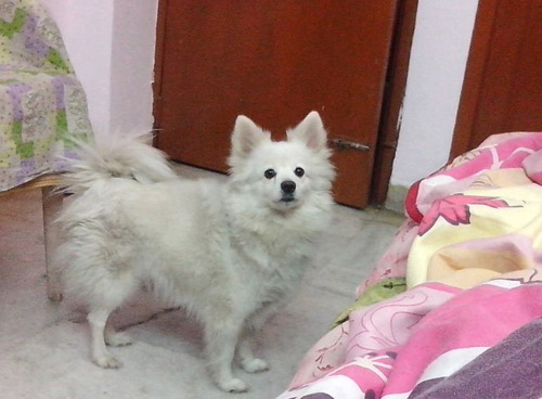 Pet Dog: Fluffy (German Spitz)