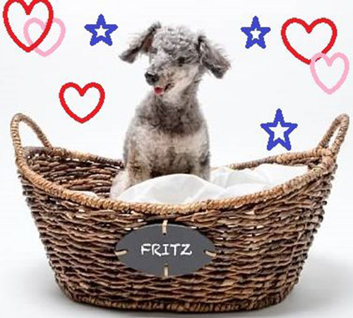 Dog: Fritz (Toy Poodle)