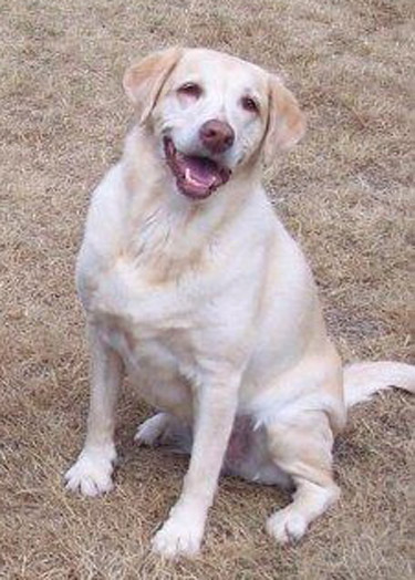 Dog: Holly - Labrador Retriever obituary