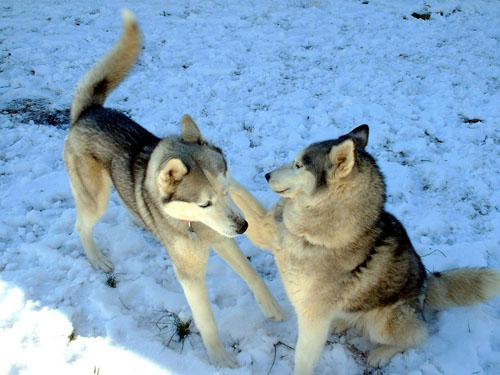 Dog Jewel & Rusky - Siberian Husky