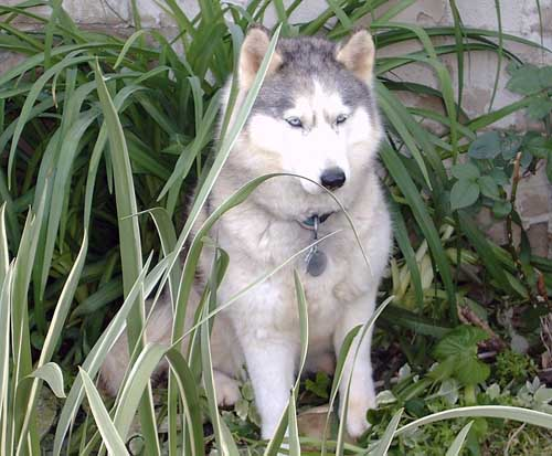Dog Jewel - Siberian Husky