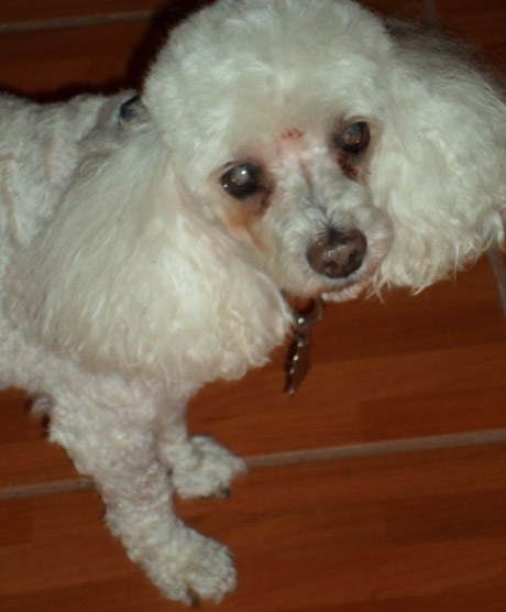 Pet Dog: Kandie - Mini Poodle