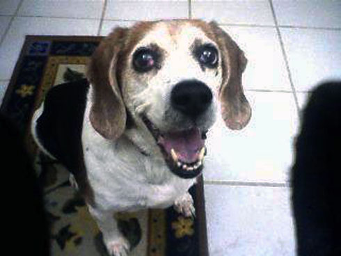 Kandy - Beagle