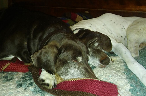 Dog: Lebron, aka Boomie (German Shorthair)