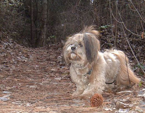 Pet Dog: Lhasa Apso (Smudge)
