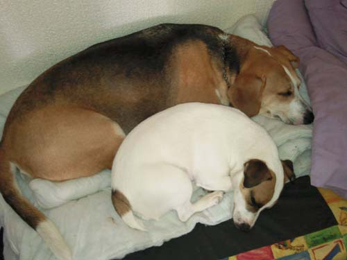 Dog: Lucy - Beagle & Max asleep
