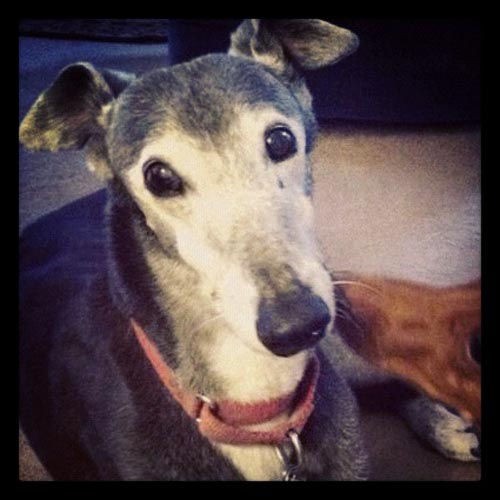 Loving Pet Dog: Mandy's A Dandy - Greyhound
