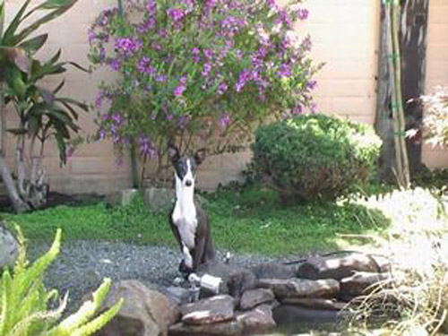 Pet Dog: Maxx - Italian Greyhound