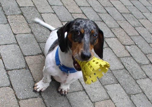 Pet Dog: Mikey (Dachshund)