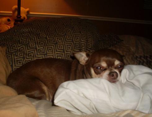 Dog - Mimi - Toy Chihuahua- Dallas GA