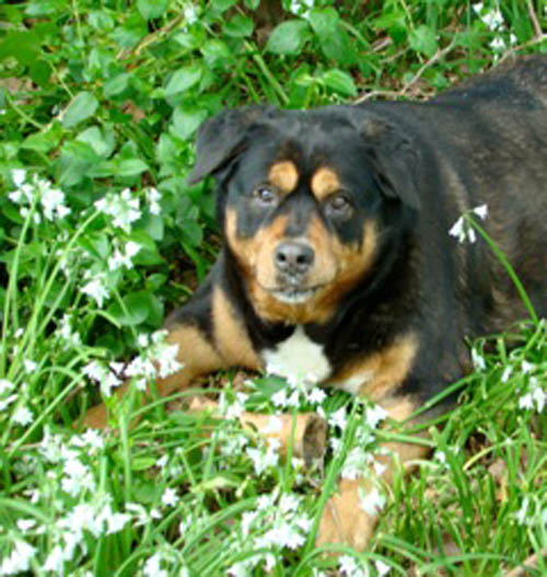 Pet dog Mona Lisa - Rottweiler mix