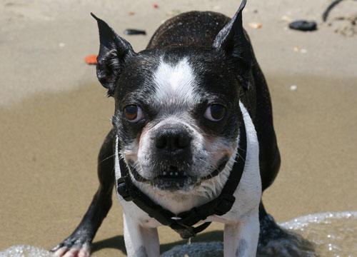pet dog Mr Magoo - Boston Terrier
