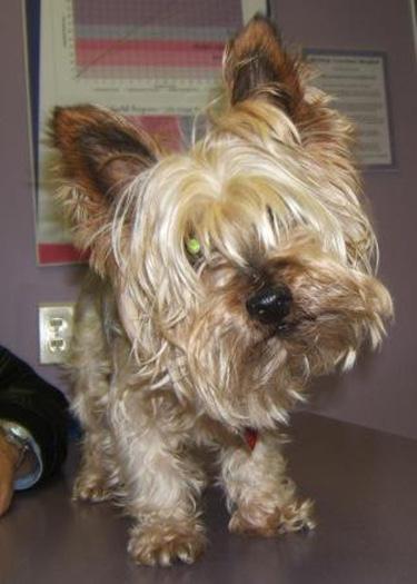 Dog: Ozzie - Silky Terrier