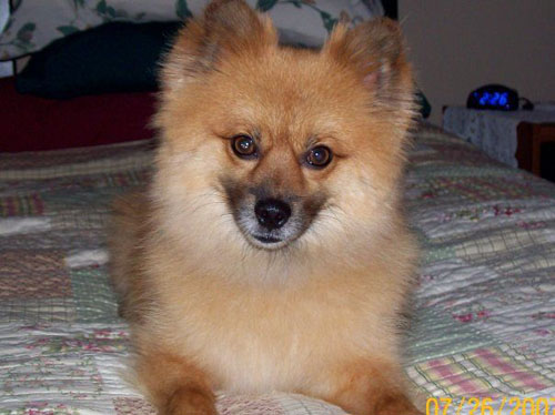 Pet Dog: Ozzy - Pomeranian breed