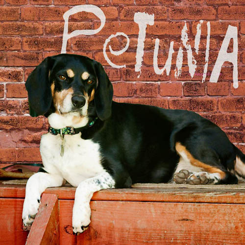 Dog: Petunia - Beagle mix