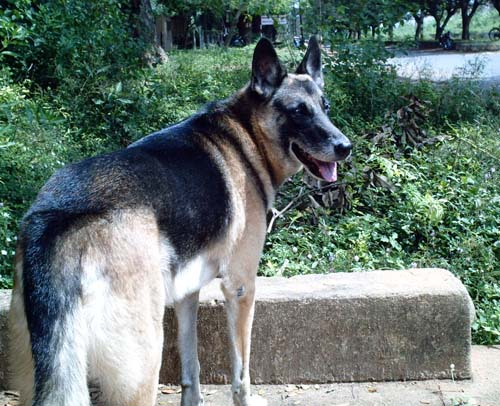Dog: R jack (German Shepherd)