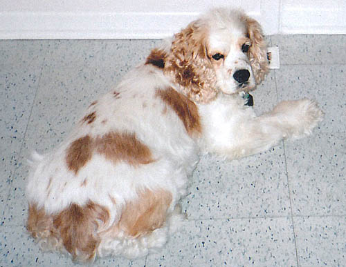 Pet Dog: Roxy - purebred American Cocker Spaniel