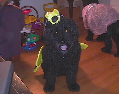 Pet Dog: Ruby - Portuguese Water dog