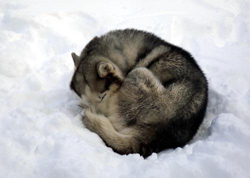 pet dog memorial rusky blue siberian husky christiana