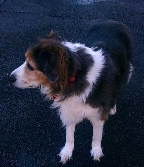 Dog: Scout - Australian Shepherd Border Collie Mix