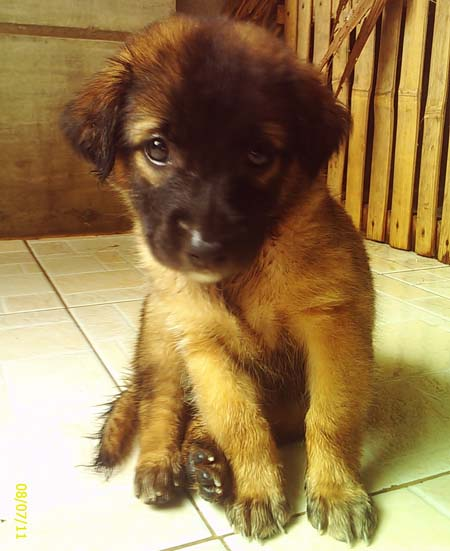 Dog Shaggy - German Shepherd mix