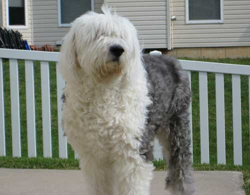 Dog: Sir Bentley Boo - Old English sheepdog