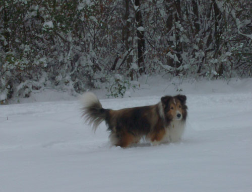 Pet dog - Solo - Sheltie