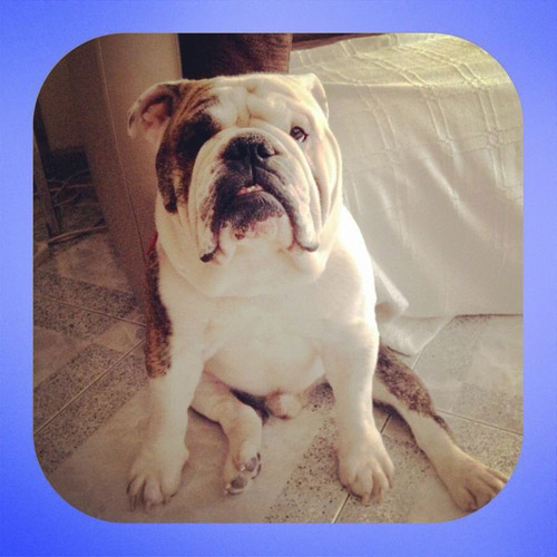 Pet Dog: Spike (English Bulldog)