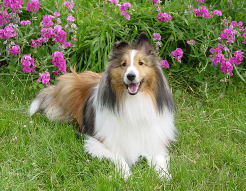Dog - Trevor - Sheltie